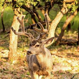 Golden Hour Mule Deer 001511 by Renny Spencer