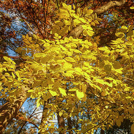 Golden Leaves of Autumn by Judy Vincent
