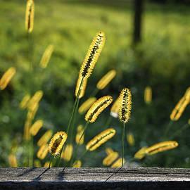 Golden Marsh Grain by Steven Nelson