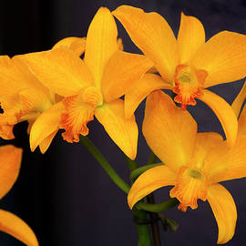 Golden Nugget Orchid by Lindley Johnson