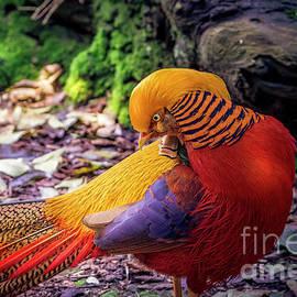 Golden Pheasant Portrait by Mitch Shindelbower