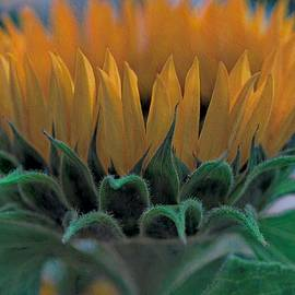 Golden Rays of the Sunflower by Susan Lenahan