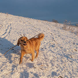 Golden Retriever Playing In Snow by Karen Rispin