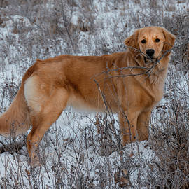 Golden Retriever With A Stick In Snow by Karen Rispin