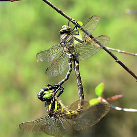 Golden-ringed dragonfly Cordulegaster boltonii by Frederic Bourrigaud