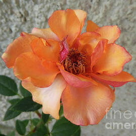 Golden Rose With A Touch Of Red by Jasna Dragun