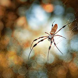 Golden Silk Spider by Morey Gers