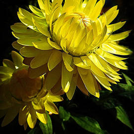Golden Strawflowers by Trudee Hunter