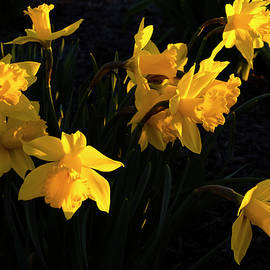 Golden Sunlight On Daffodils by Denise Harty