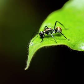 Golden-tailed Spiny Ant by Rob Downer