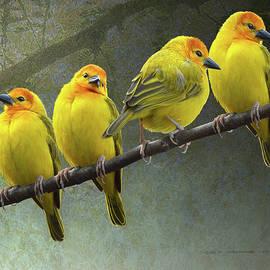 Golden Taveta Weaver Birds On Branch by R christopher Vest