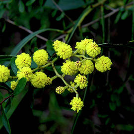 Golden Wattle by Graham Palmer