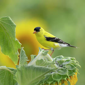Goldfinch and sunflowers by Jack Nevitt