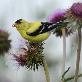 Goldfinch and Thistle Seed by Whispering Peaks Photography