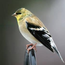 Goldfinch In Profile by Daniel Beard
