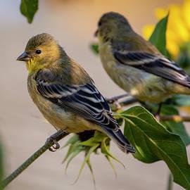 Goldfinch in Sunflower 09/05 by Bruce Frye