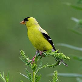 Goldfinch in the Meadow by Sonja Jones