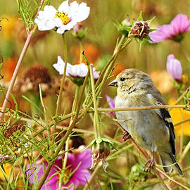 Goldfinch in Wildflowers by Carmen Macuga