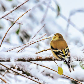 Goldfinch In WInter Colors by Bellesouth Studio
