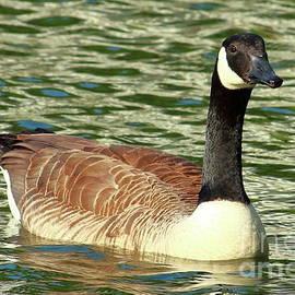 Goose by Atiqur Rahman