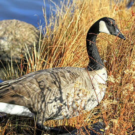 Goose in the Grass by Donna Kennedy