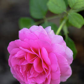 Gorgeous Low Hanging Pink Rose by Janice Noto