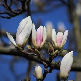 Gorgeous Magnolia Blossom by Loretta S