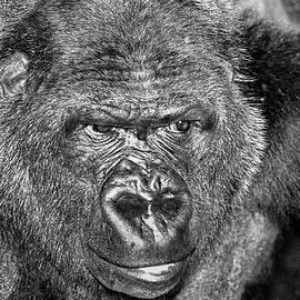 Gorilla face by RicardMN Photography