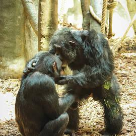 Gorilla kiss by Vaclav Sonnek