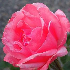 Grace in a Rose by Jeanne Emmerson