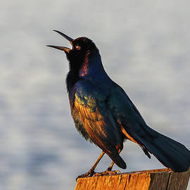 Grackle Bird by Juergen Roth