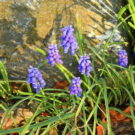 Grape Hyacinth Blooms by Robert Tubesing