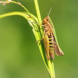 Grasshopper by John Fotheringham