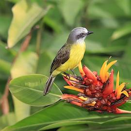 Gray-capped Flycatcher Costa Rica by Marlin and Laura Hum