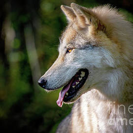 Gray Timber Wolf Profile Portrait by Sharon McConnell