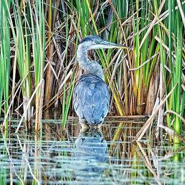 Great Blue Heron 2, Madison, WI by Steven Ralser