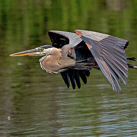 Great Blue Heron 2751 by Matthew Lerman