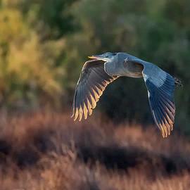 Great Blue Heron 9020-020420-2 by Tam Ryan
