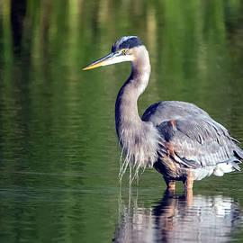 Great Blue Heron 9453-020720-2 by Tam Ryan