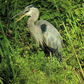 Great Blue Heron at the Edge of the Marsh by Dennis Lundell