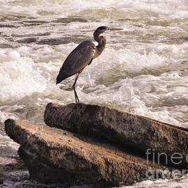 Great Blue Heron At Waterfall          Indiana       Late Summer by Rory Cubel