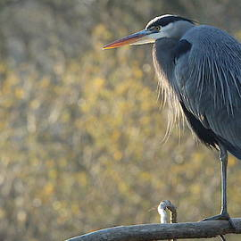 Great Blue Heron by Brian Baker