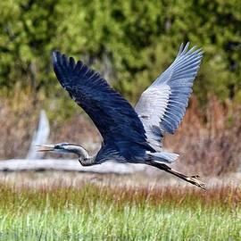 Great Blue Heron in Flight by Dana Hardy