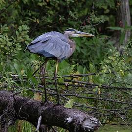 Great Blue Heron Long Legs by Marlin and Laura Hum