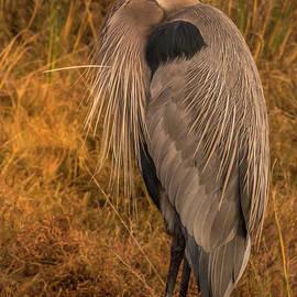 Great Blue Heron Portrait 3 by Mitch Shindelbower