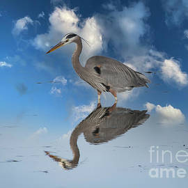Great Blue Heron Reflection by Mitch Shindelbower