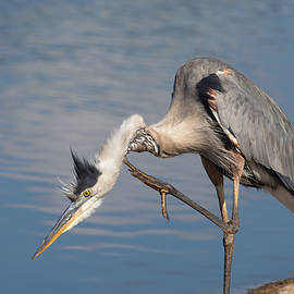 Great Blue Heron scratching its neck by Zina Stromberg