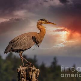 Great Blue Heron Sunset 1 by Mitch Shindelbower