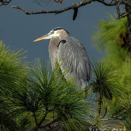 Great Blue in a pine tree by Rodney Cammauf
