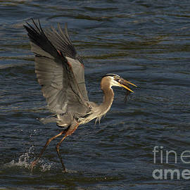Great Blue With Catch by Douglas Stucky